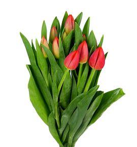 Tulipan rojo 38 - TULESTBON