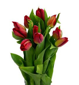 Tulipan strong fire 42 - TULSTRFIR