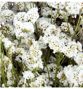 Limonium chino preservado white - LIMCHIPREBLA