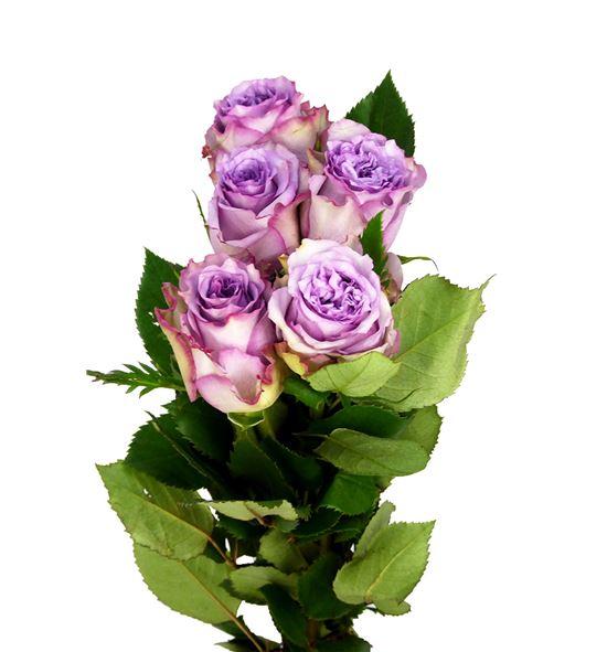Rosa hol dolcetto 50 - RGRDOL