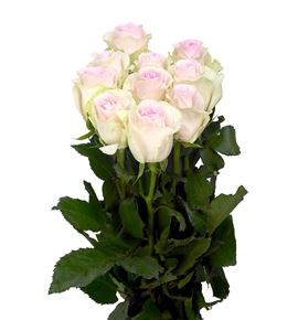 Rosa hol revival sweet 60 - RGRREVSWE