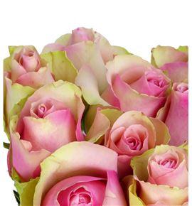 Rosa hol. belle rose 60 - RGRBELROS