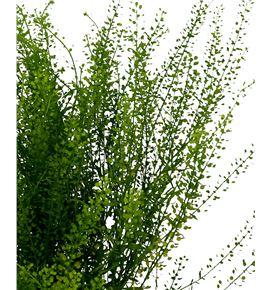 Thlaspi greenbell 70 - THLGRE