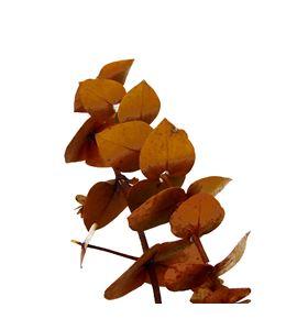 Eucaliptus preservado baby amarillo - EUCPREBABAMA