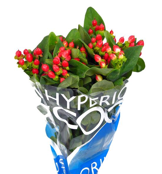 Hypericum rojo - HYPCOCDIA