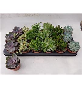 Pl. succulenten mixto 12cm x10 - SUCMIX1051012CB