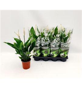 Pl. spathiphyllum sweet silvio 65cm x7 - SPASWESIL71465