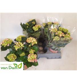 Pl. hydrangea early rose 40cm x6 - HYDEARROS61540