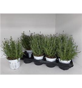Pl. lavandula angustifolia 30cm x8 - LAVANG81230
