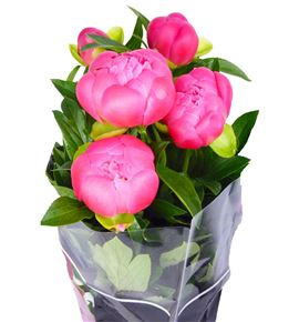 Paeonia coral charm x5 60 - PAECORCHA