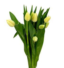 Tulipan cheers 38 - TULCHE