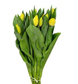 Tulipan yellow flight 36 - TULYELFLI