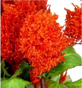 Celosia plumosa kim naranja 40 - CELPLUKIMNAR