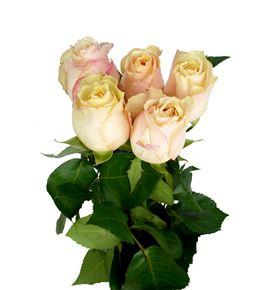 Rosa hol victoria peach 50 - RGRVICPEA