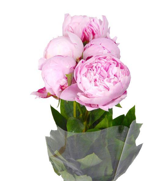 Paeonia sarah bernhard x5 60 - PAESARBER