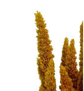Amaranthus seco amarillo - AMASECAMA