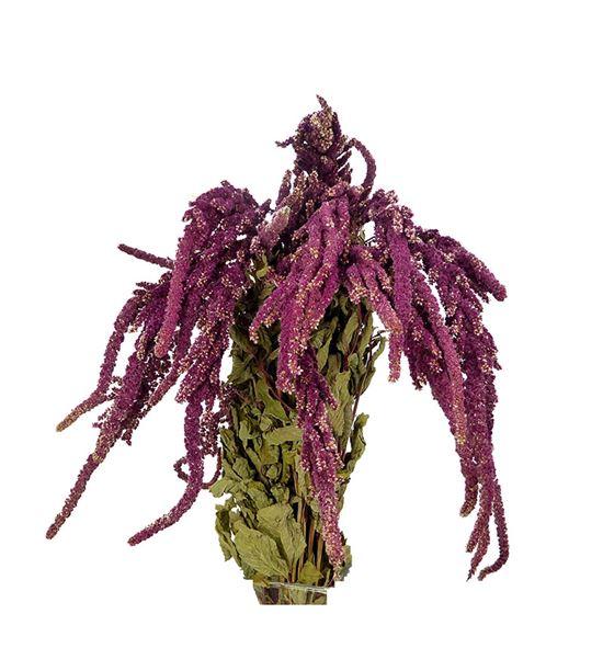 Amaranthus seco caudatus rojo - AMASECCAUROJ