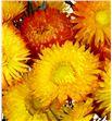 Helichrysum seco naranja - HELSECNAR1