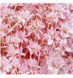 Hill flower seco rosa - HILFLOSECROS1