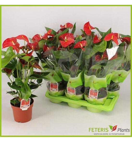 Pl. anthurium beliza x6 60cm - ANTBEL61760