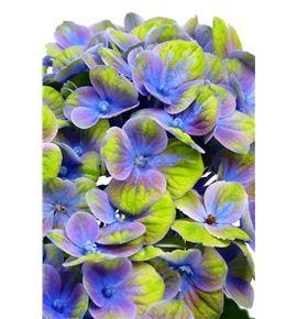 Hydr magical coral azul 70 - HYDMAGCORAZU