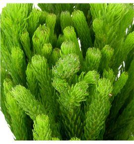 Brunia albiflora verde 50 - BRUALBVER