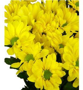 Marg hol celebrate yellow - MHCELYEL