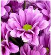 Marg hol memphis pink - MHMEMPIN2