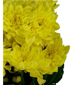 Marg hol pina colada yellow - MHPINCOLYEL