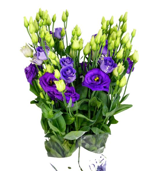 Lisianthus rosita blue 75 - LISROSBLU