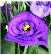 Lisianthus rosita blue 75 - LISROSBLU2