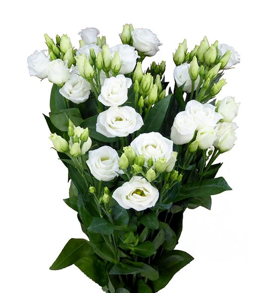 Lisianthus rosita white 75 - LISROSWHI