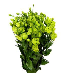 Lisianthus rosanne green waalzicht 75 - LISROSGREWAA