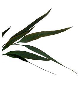 Eucaliptus preservado willow - EUCPREWIL