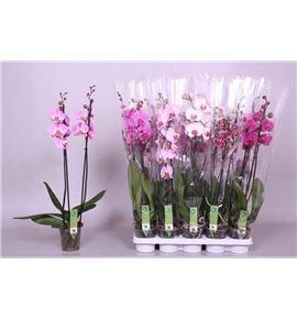 Pl. phalaenopsis mixta 5kl 2t 75cm x10 - PHAMIX1012752