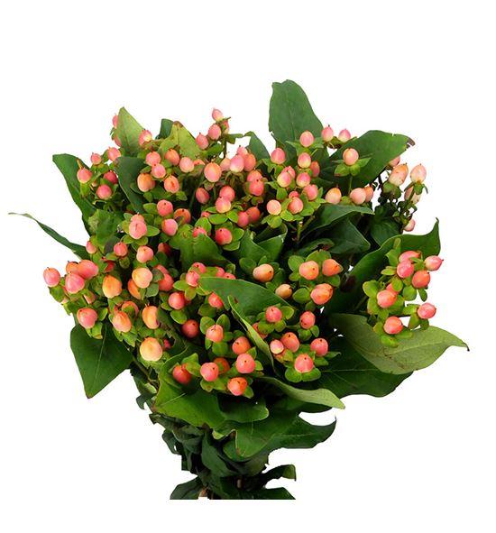Hypericum blushing romance 40 - HYPBLUROM