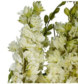 Delphinium seco blanco - DELSECBLA