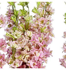 Delphinium seco rosa claro - DELSECROSCLA