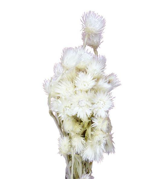 Helichrysum seco vestitum - HELSECVES