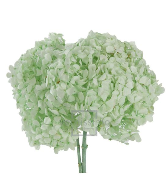 Hortensia preservada box hrw/1160 - HRW1160-02-HORTENSIA