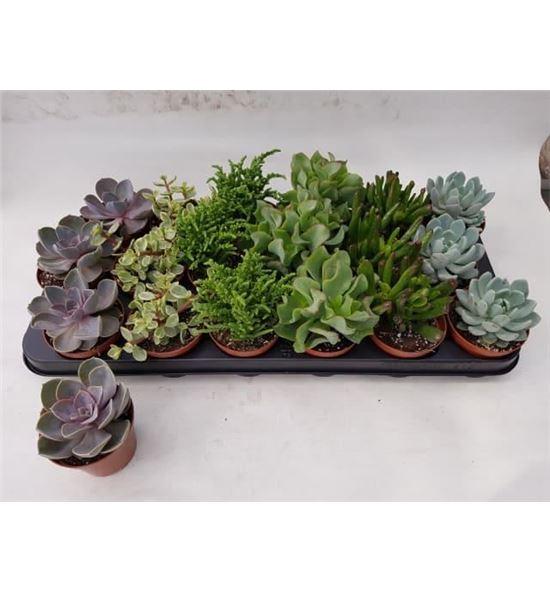 Pl. succulenten mixto 15cm x18 - SUCMIX1051815