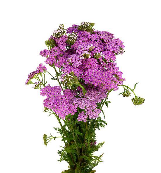 Achilea deep purple 70 - ACHDEEPUR