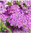 Achilea deep purple 70 - ACHDEEPUR1