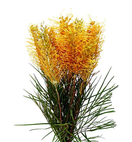 Grevillea honey gem 50 - GREHONGEM