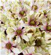 Allium silverspring 75 - ALLSIL1