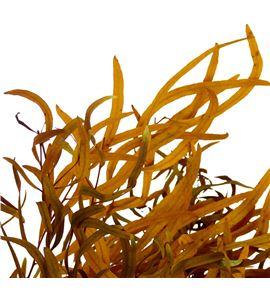 Eucaliptus preservado nicholii amarillo - EUCPRENICAMA