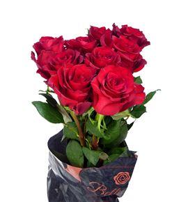 Rosa hol ever red 40 - RGREVERED