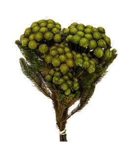 Brunia preservada albiflora yellow - BRUALBPREYEL