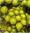 Brunia preservada albiflora yellow - BRUALBPREYEL1