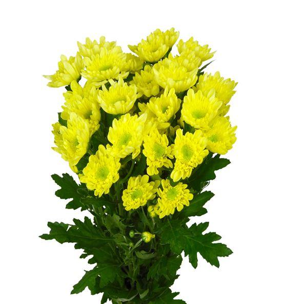 Marg hol radost yellow - MHRADSUN